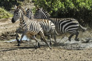 Its less common to see Zebras